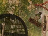 Große Schaukel für große Vögel (Papagei, Wellen-Sittich) Voliere bestellen